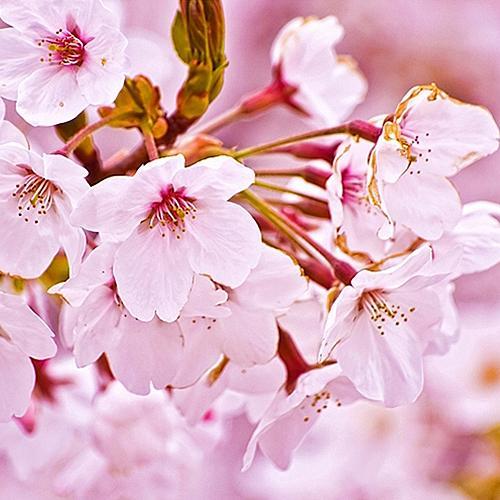 Aroma  Cherry Blossom 10 ml